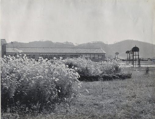 1957年(昭和32年)校歌4番に歌われるコスモスの花